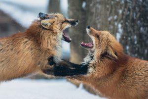 Zaproś szakale do stołu - odkryj piękno konfliktu walczące lisy